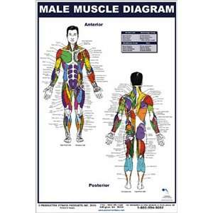Male Muscle Diagram (9780973941111): Andre Noel Potvin