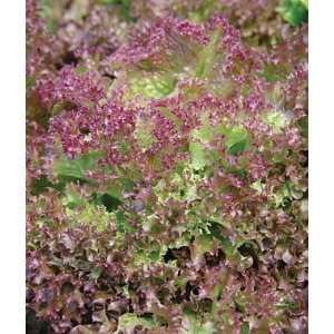Lettuce, Lolla Rossa 1 Pkt.(900 Seeds): Patio, Lawn