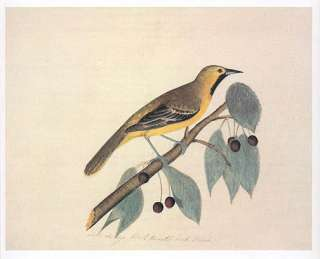 John James Audubon bird print   Orchard Oriole