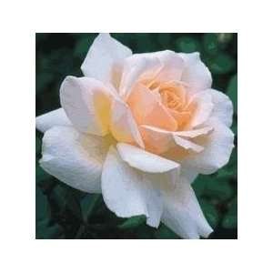 Chandos Beauty Rose Seeds Packet Patio, Lawn & Garden