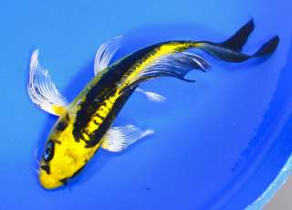 Kin ki utsuri butterfly fin live koi fish pond garden ndk for Black and gold koi
