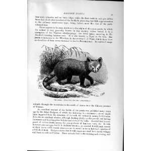 NATURAL HISTORY 1894 PANDA RACCOON FAMILY WILD ANIMAL