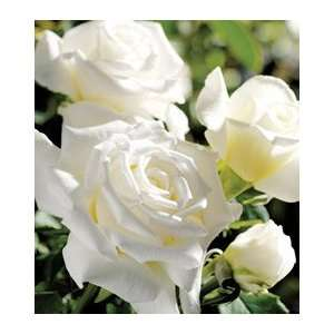 Pope John Paul II Hybrid Tea 36 inch Patio Tree Rose
