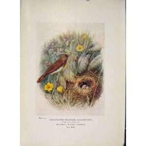 Grasshopper Warbler Bird Egg Colour Antique Old Print
