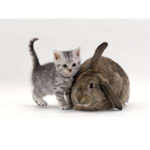 Domestic Cat, Silver Spotted Kitten with Agouti Lop Rabbit